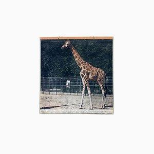 Vintage Wall Chart Giraffe, 1916