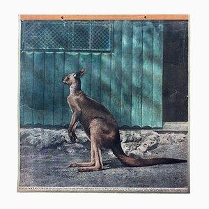 Vintage Wall Chart Kangaroo, 1916