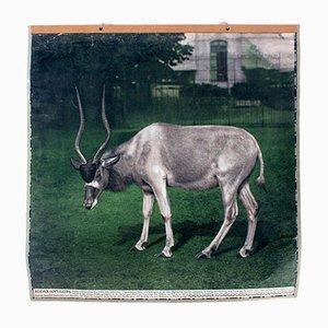 Vintage Antilopen Lehrtafel, 1915