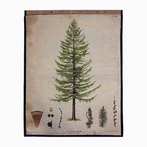 Larch Tree Wall Chart by J. Fleischmann for Carl Gerold's Sohn, 1879