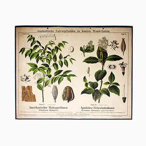 Mahogany Tree and Cinchona Wall Chart by Zippel und Bollmann, 1876