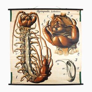 Antique Wall Chart Centipede by Paul Pfurtscheller, 1912