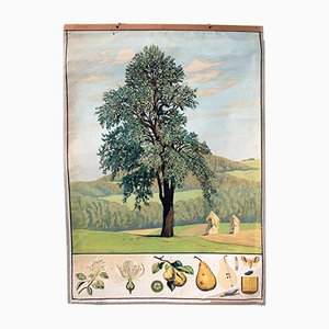 Antique Wall Chart Pear Tree, 1879