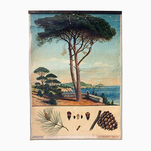 Antique Wall Chart Pine Tree