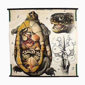 Vintage Wall Chart Turtle by Paul Pfurtscheller, 1913