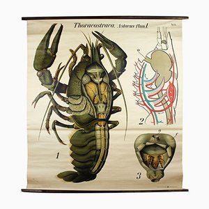 Vintage Wall Chart European Crayfish by Paul Pfurtscheller, 1929