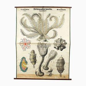 Antique Wall Chart Sea Lily by Rudolf Leuckart, 1879