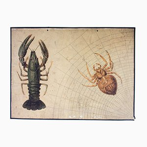 Spider & Crab Wall Chart by Friedrich Specht for F. E. Wachsmuth, 1889