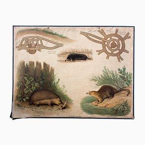 Mole & Hedgehog Wall Chart by Friedrich Specht for F. E. Wachsmuth, 1878