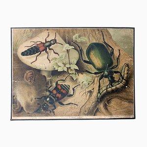 Beetle Wall Chart by Friedrich Specht for F. E. Wachsmuth, 1878