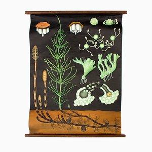 Austrian Wall Chart Field Horsetail (Equisetum aravense) by Jung-Koch-Quentell, 1961