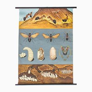 Austrian Ants Wallchart by Jung Koch Quentell, 1970
