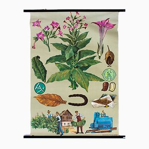 Vintage Wall Chart Tobacco by Jung, Koch and Quentell, 1964
