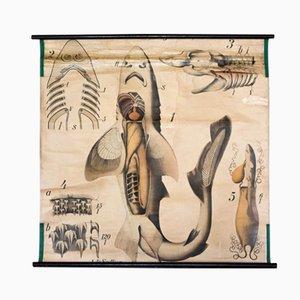 Shark Anatomy Wall Chart by Paul Pfurtscheller, 1902