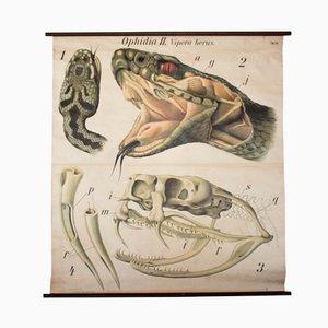 Viper Wall Chart by Paul Pfurtscheller, 1926