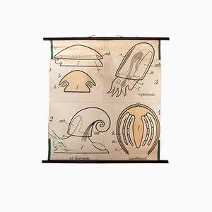 Vintage Wall Chart Mollusks by Paul Pfurtscheller, 1910