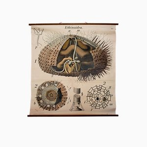 Vintage Wall Chart Sea Urchin by Paul Pfurtscheller, 1926
