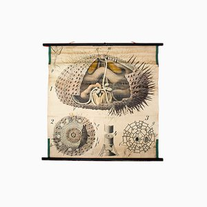 Antique Wall Chart Sea Urchin by Paul Pfurtscheller, 1907