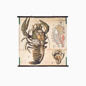 Vintage Wall Chart Lobster by Paul Pfurtscheller, 1909