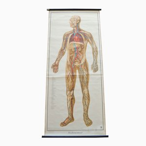 Blood Circulation Anatomic Wall Chart from Deutsches Gesundheits Museum Köln, 1952