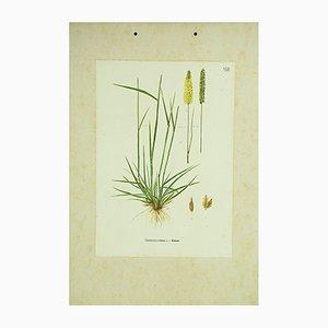 Botanische Kammgras Lehrtafel, 1962