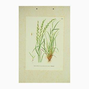 Affiche Botanique Ivraie, Italie, 1960s