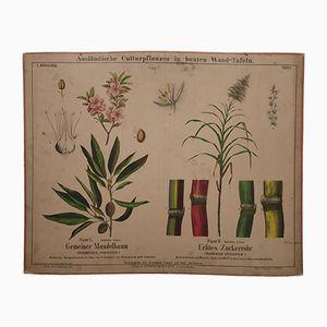 Antikes Mandelbaum & Zuckerrohr Wandplakat, 1870er