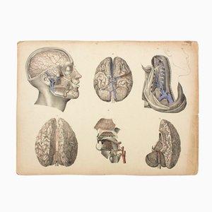 Brain Educational Chart by M. J. Weber, 1830