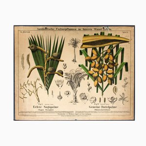 Sago Palm and Date Palm Wall Chart by Hermann Zippel and Carl Bollmann, 1877