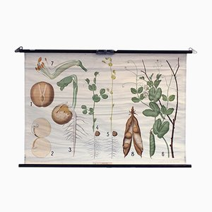 Vintage Garden Pea School Chart from Chr. Cato