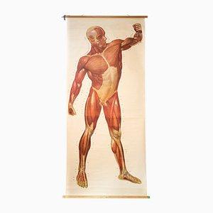 Muskeln des Menschlichen Körpers Wandkarte von Deutsches Hygiene Institut, 1948
