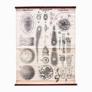 Antique Protozoa Wall Chart by Rudolf Leuckart, 1879
