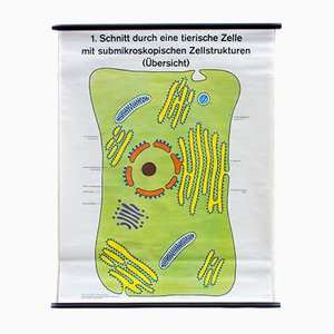 School Wall Chart Cell by Dr. H. Kaudewitz for Westermann, 1968