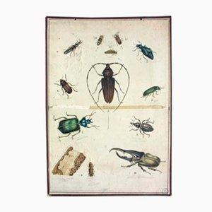 Beetle Educational Lithograph, 1893