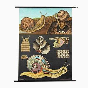 Stampa anatomica di lumaca di Jung, Koch e Quentell per Hagemann, anni '60