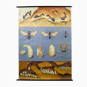Red Wood Ant Wall Chart by Jung, Koch, & Quentell for Hagemann, 1960s