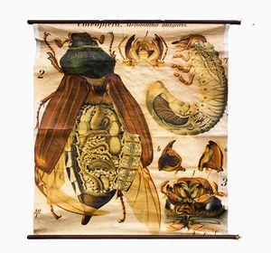 Stampa anatomica di scarabeo di Paul Pfurtscheller, 1926