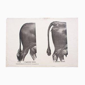 Póster con anatomía de las vacas de Dr. G Pusch para Paul Parey, 1901