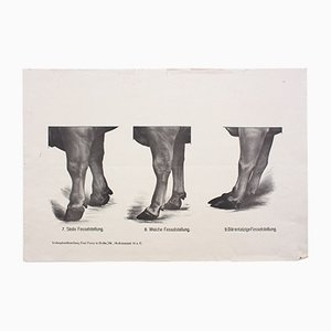 Anatomie of Cows Wall Chart by Dr. G. Pusch for Paul Parey, 1901