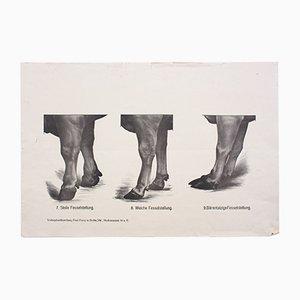 Tableau Mural Anatomie des Vaches par Dr. G. Pusch pour Paul Parey, 1901
