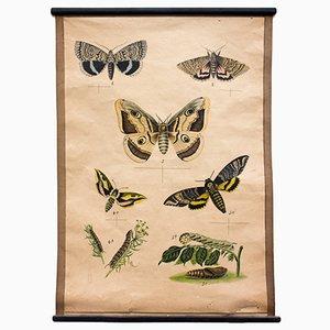 Butterflies Educational Lithograph, 1914