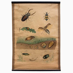 Lithograph Chart of a Beetle, 1914