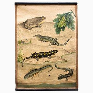 Amphibians Educational Chart, 1914