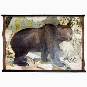 Bear Educational Chart by C. C. Meinhold & Söhne, 1891
