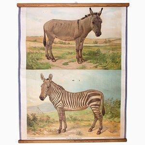 Donkey & Zebra Wall Chart by Th. Breidwiser for Carl Gerolds Sohn, 1879