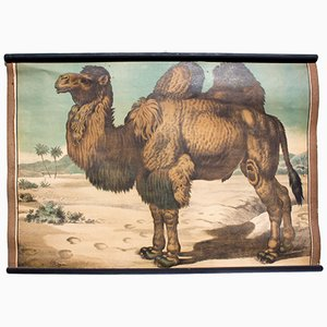 Lithograph Educational Poster of a Camel by Karl Jansky, 1897