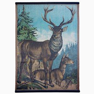 Deer Educational Chart by Karl Jansky, 1891