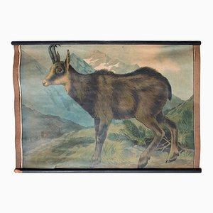Lithographie d'une Chèvre de Montagne par Karl Jansky, 1897