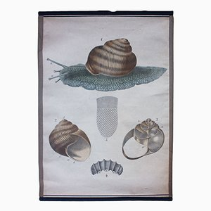 Lithograph Educational Chart of a Snail by Karl Jansky, 1897