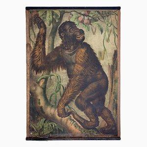 Orangutan Lithograf von Karl Jansky, 1897
